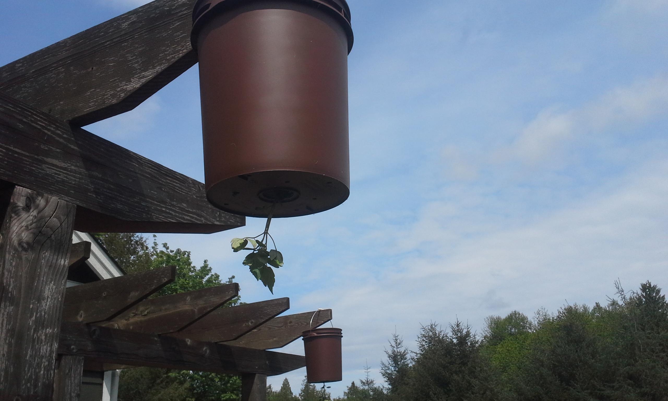 como sembrar tomates en un huerto colgante y con poco espacio 6