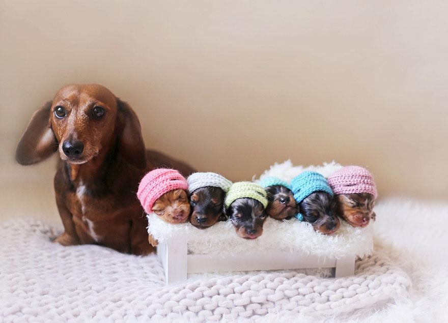 foto de familia de perros salchicha 1