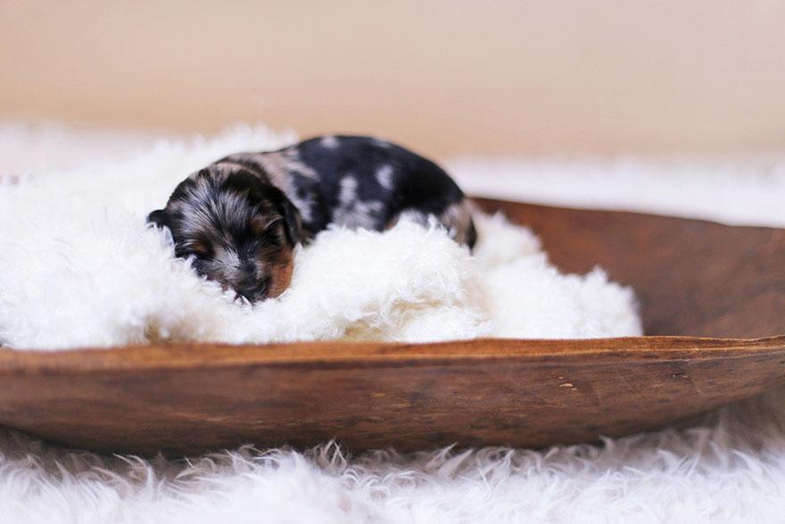 foto de familia de perros salchicha 3