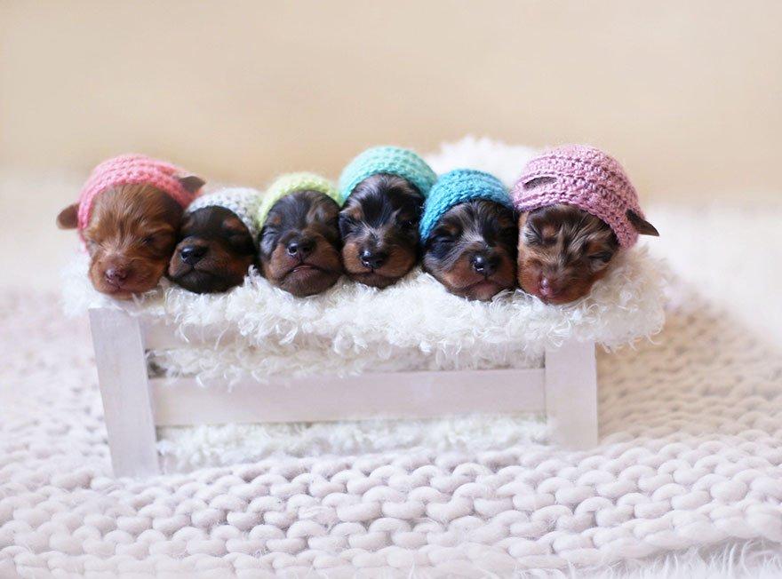foto de familia de perros salchicha 4