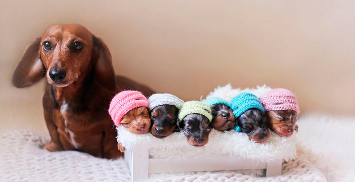 mama perro salchicha posa con sus cachorrillos