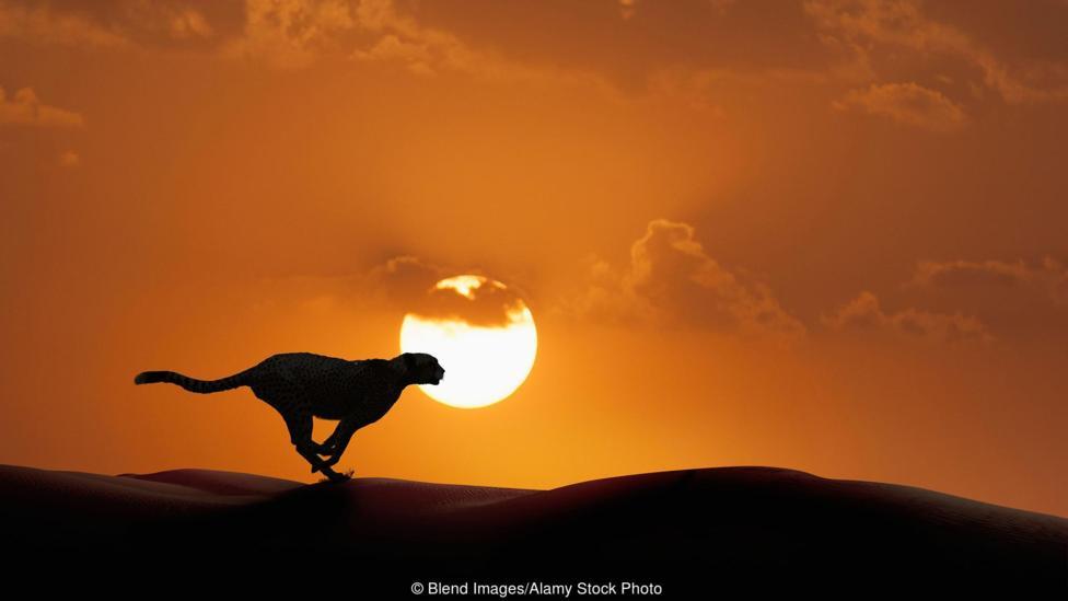 ¿Veremos alguna vez guepardos en libertad en América del Norte, tal y como algunos proponen?