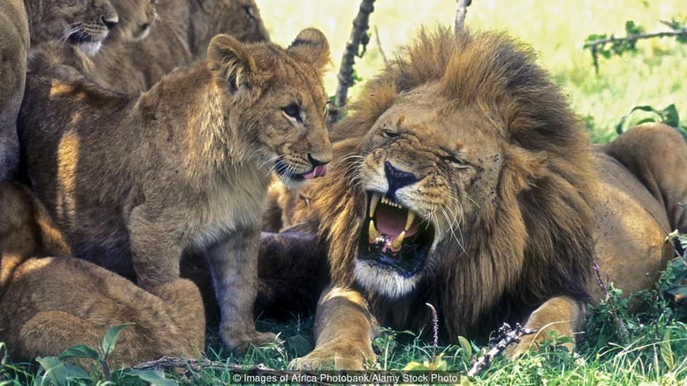 Hace miles de años, los leones también vagaban por las llanuras y bosques de Europa y América del Norte.