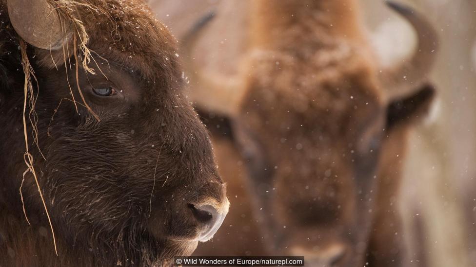 Tras el éxito de la repoblación del bisonte europeo, Ole Sommer Bach y su equipo ven factible introducir al elefante en territorio europeo.