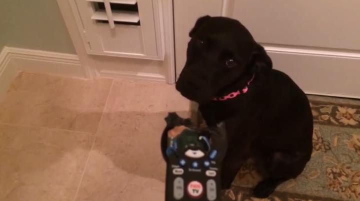 perro-mando-a-distancia