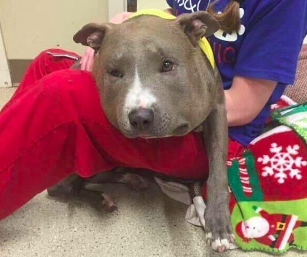 pitbull encontrado con un acadena de 3 kg al cuello 2