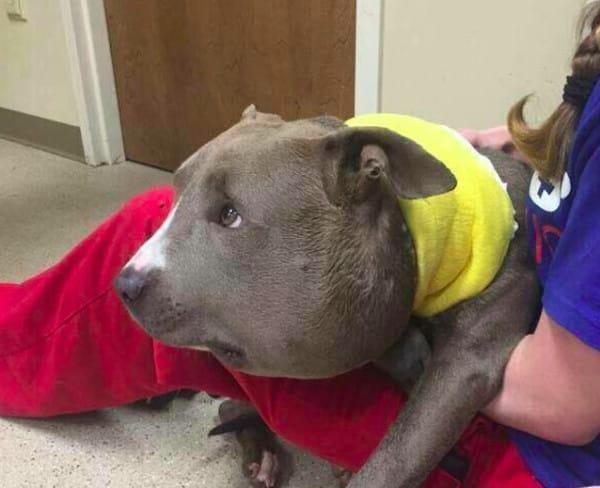 pitbull encontrado con un acadena de 3 kg al cuello 3