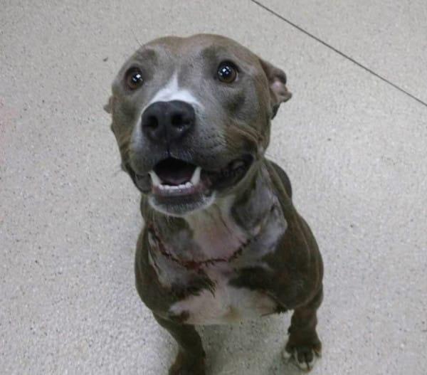 pitbull encontrado con un acadena de 3 kg al cuello 6