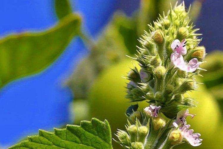 plantas que repelen los mosquitos de forma natural 2