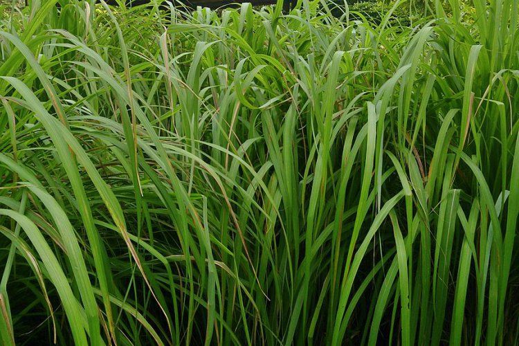 plantas que repelen los mosquitos de forma natural 3