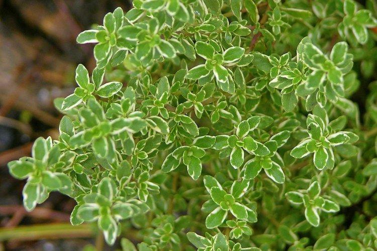 plantas que repelen los mosquitos de forma natural 5