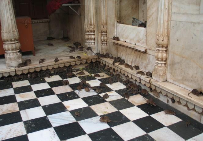 templo ratas 1
