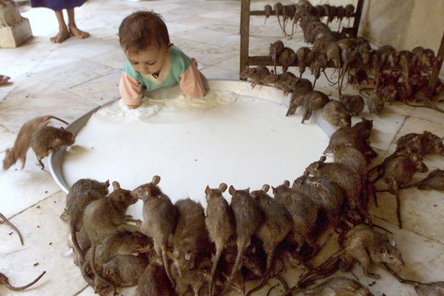 templo ratas 10
