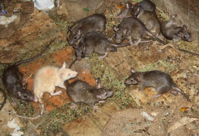 templo ratas 11