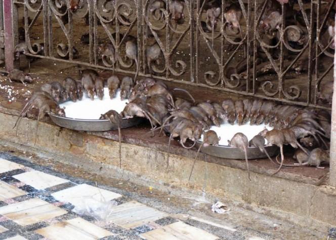 templo ratas 4