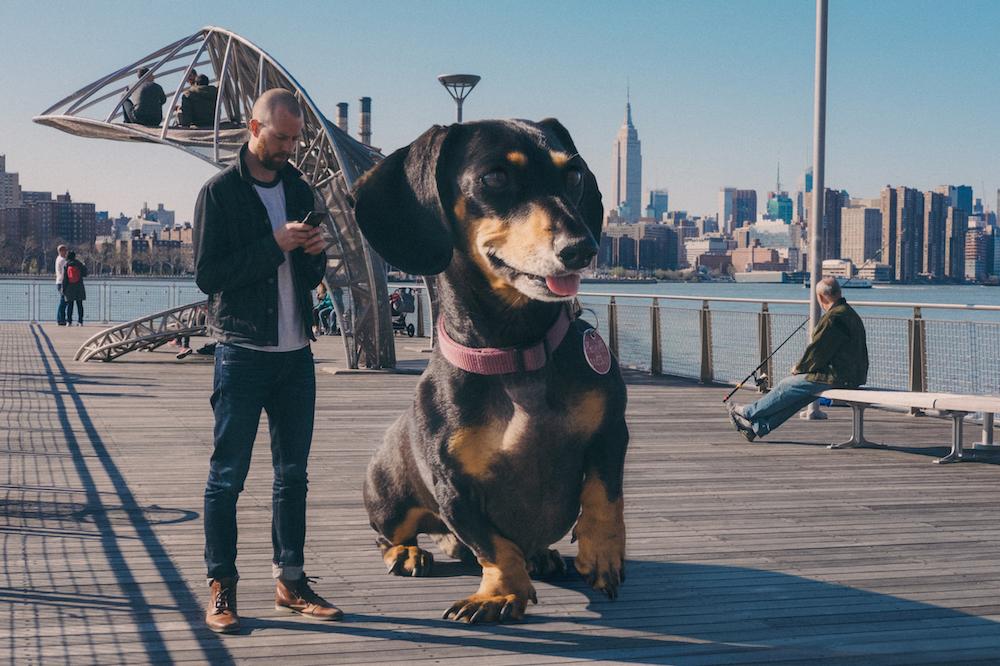 vivian, el perro que parece gigante pero no lo es 4