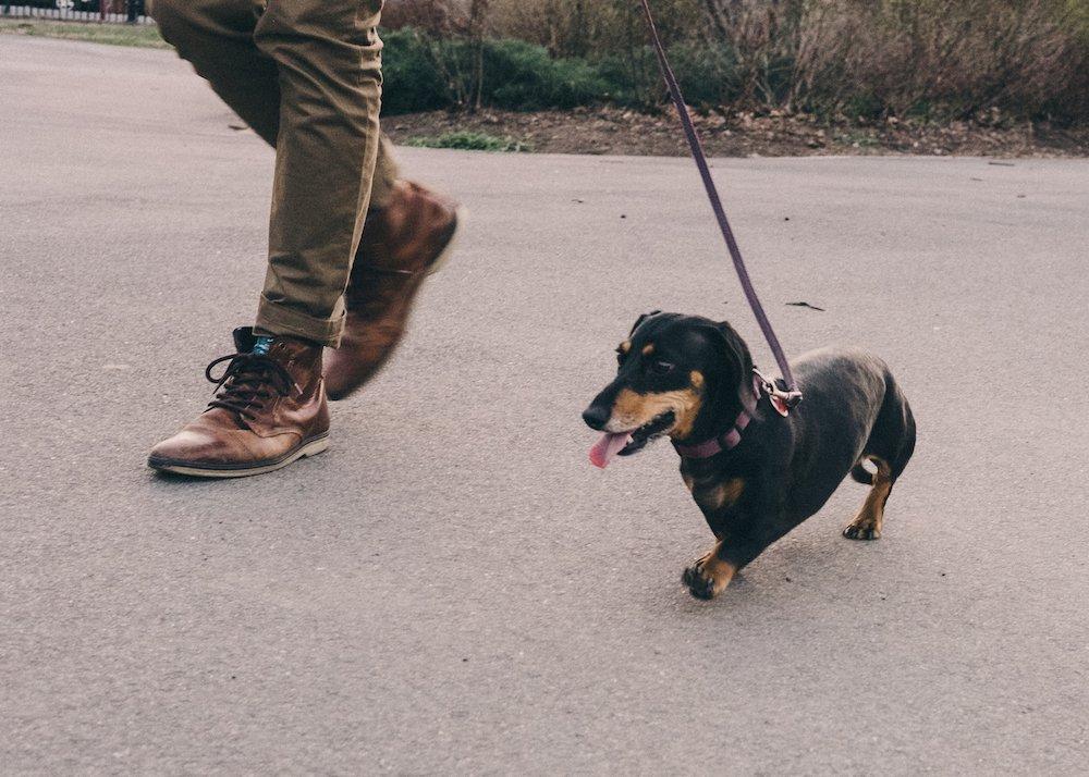vivian, el perro que parece gigante pero no lo es 7