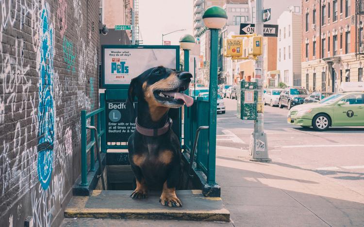 vivian, el perro que parece gigante pero no lo es 9