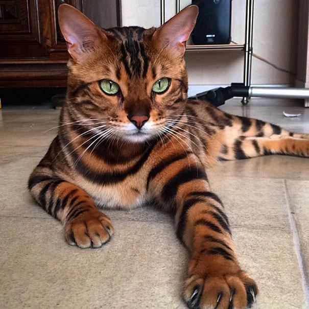gato-impresionante3