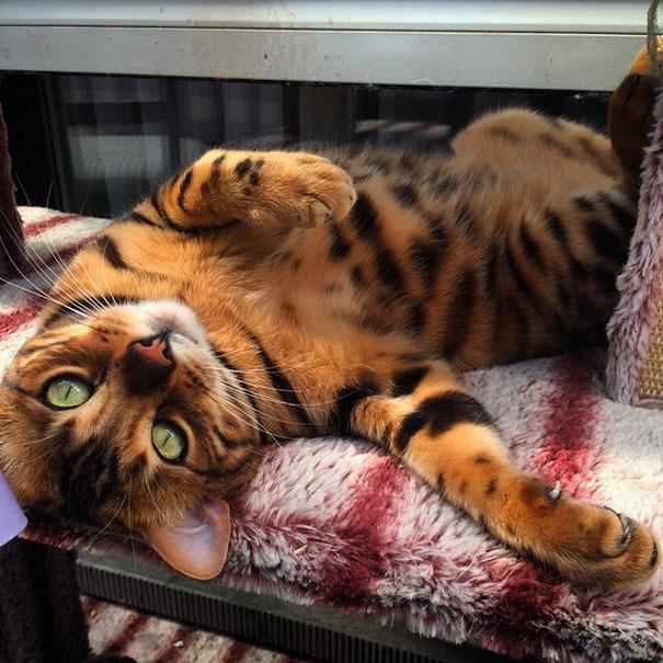 gato-impresionante5