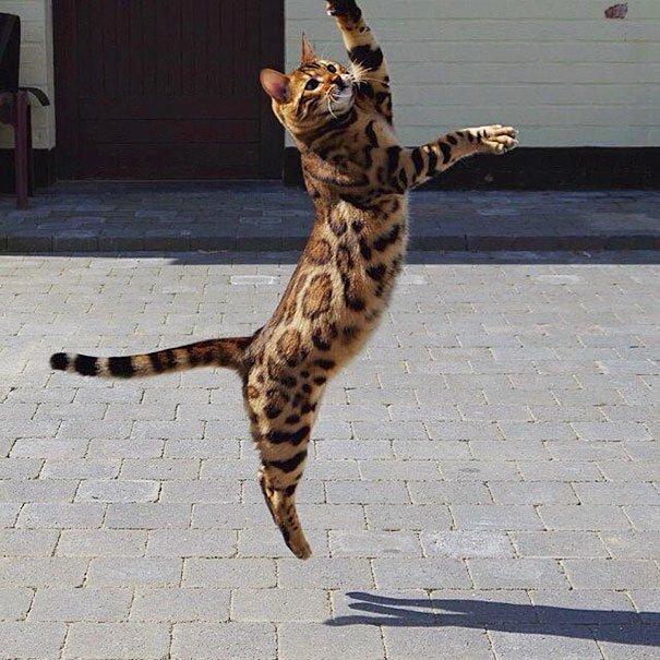 gato-impresionante6
