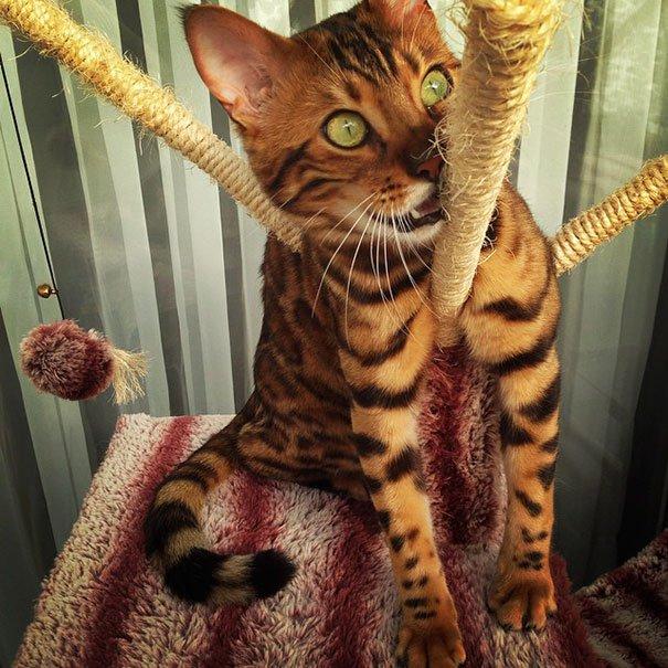 gato-impresionante9
