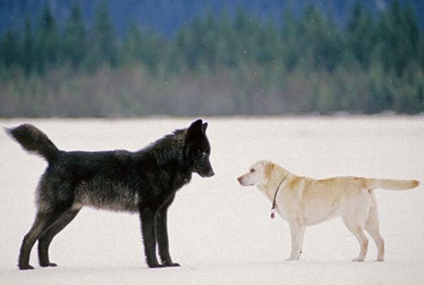 Su perro se topó con un lobo y comenzó una relación
