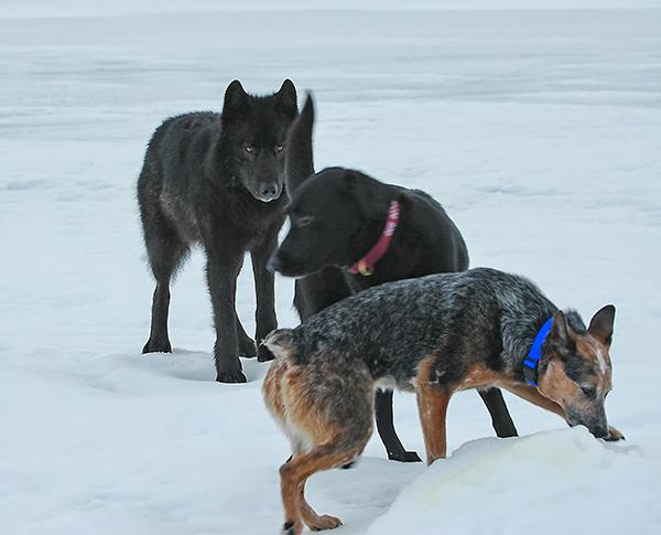 lobo conoce perro 6