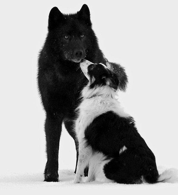 lobo conoce perro 7