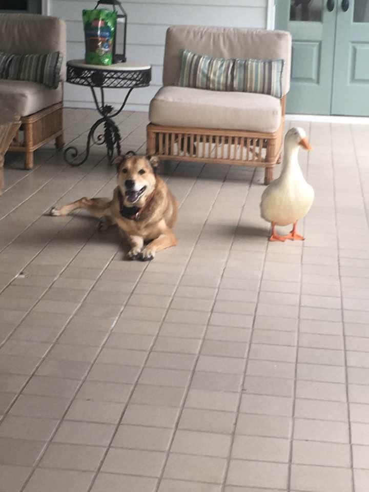 pato y perro 6