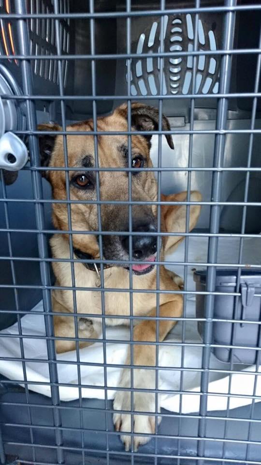 perro-azafata-adopcion1