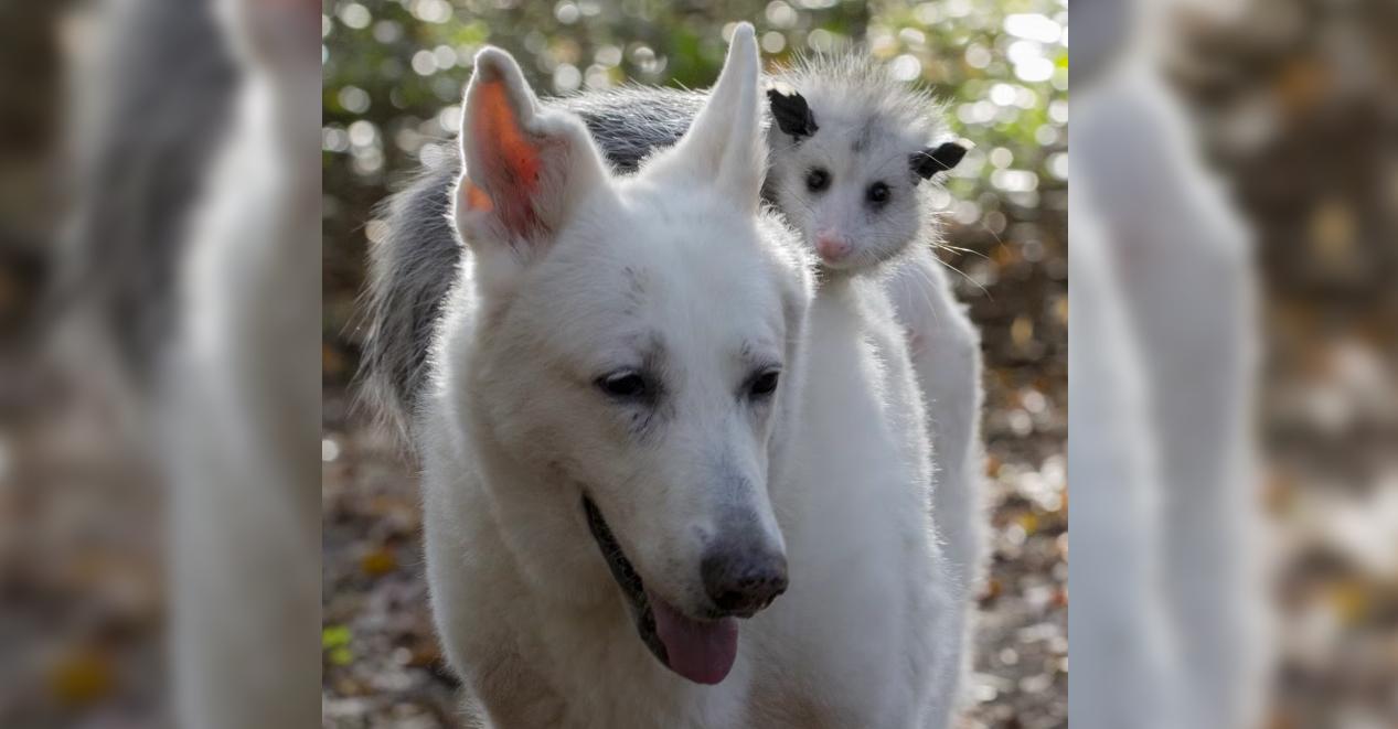 perro-zarigueya