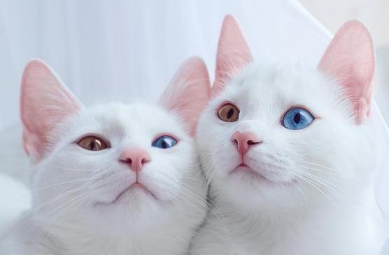 gatos-gemelos