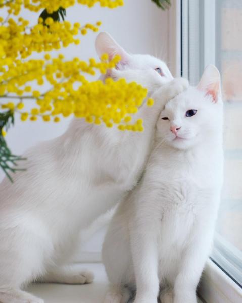 iriss y abyss las gatas albinas gemelas con ojos de distinto color 11