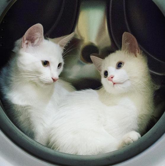iriss y abyss las gatas albinas gemelas con ojos de distinto color 12