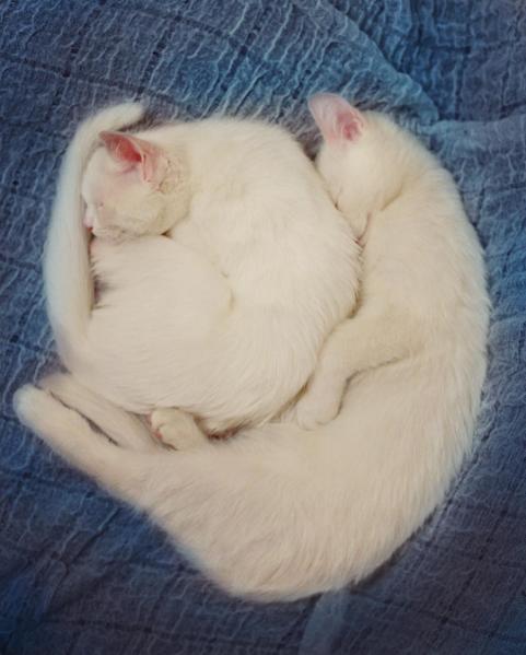iriss y abyss las gatas albinas gemelas con ojos de distinto color 2