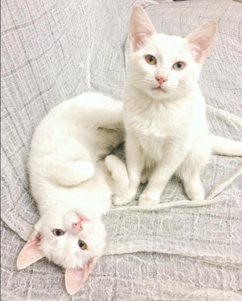 iriss y abyss las gatas albinas gemelas con ojos de distinto color 3