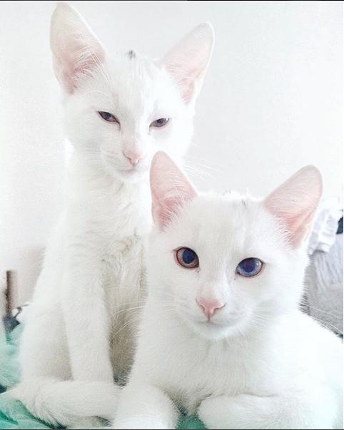 iriss y abyss las gatas albinas gemelas con ojos de distinto color 4