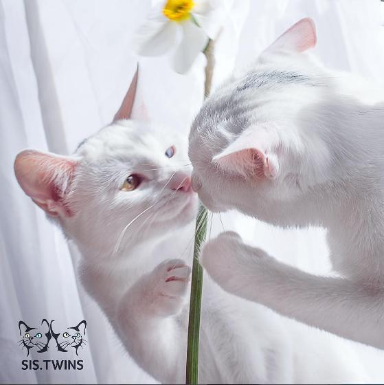 iriss y abyss las gatas albinas gemelas con ojos de distinto color 7