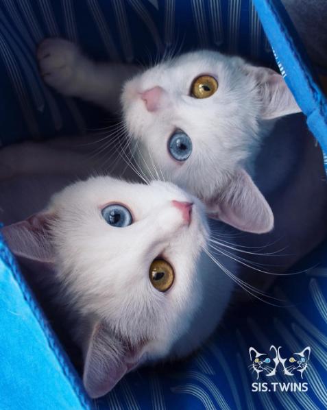 iriss y abyss las gatas albinas gemelas con ojos de distinto color 9