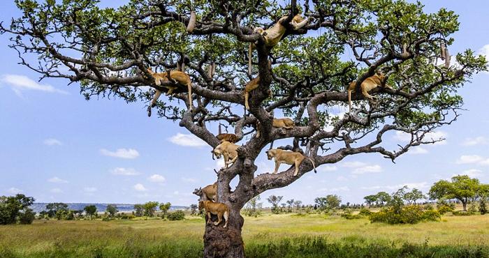 leones-arbol