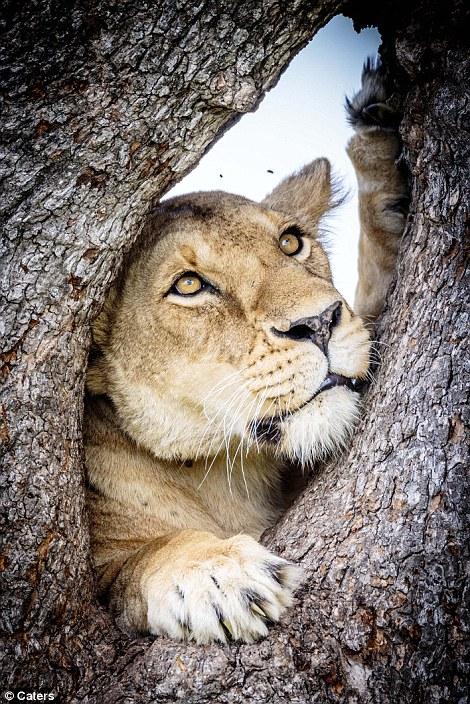 leones_5