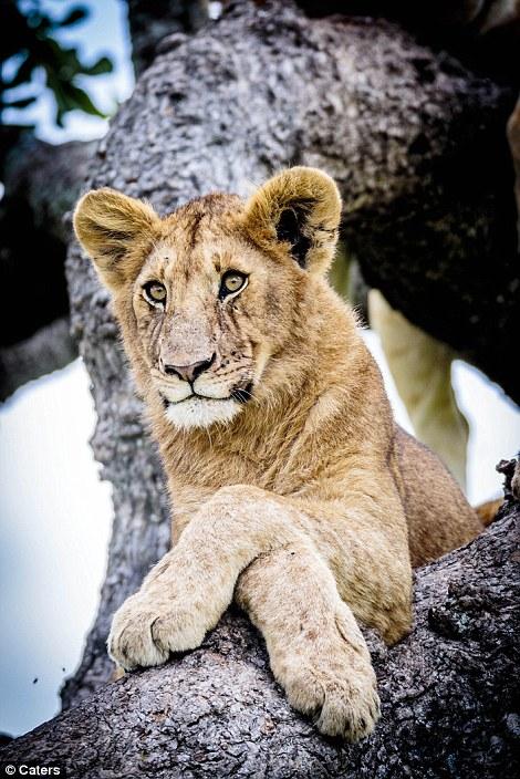 leones_8