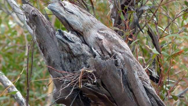 podargo australiano