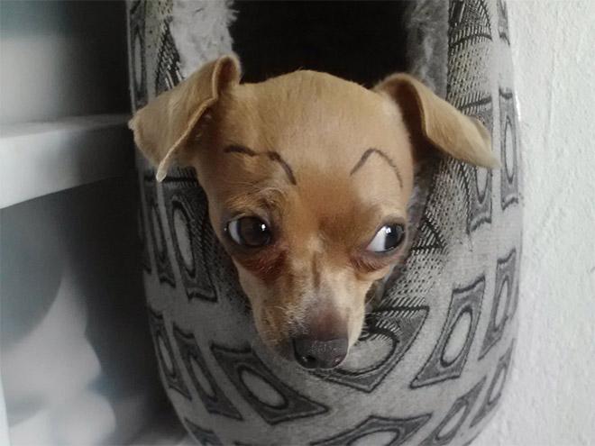 perros con cejas 15