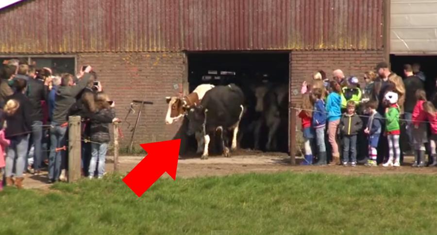 vacas-felices