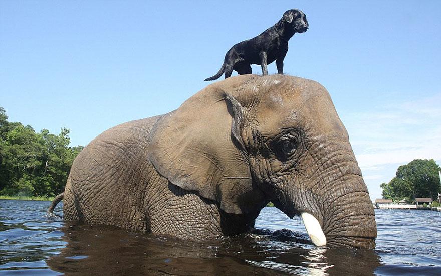 perra labrador y elefante amigos inseparables