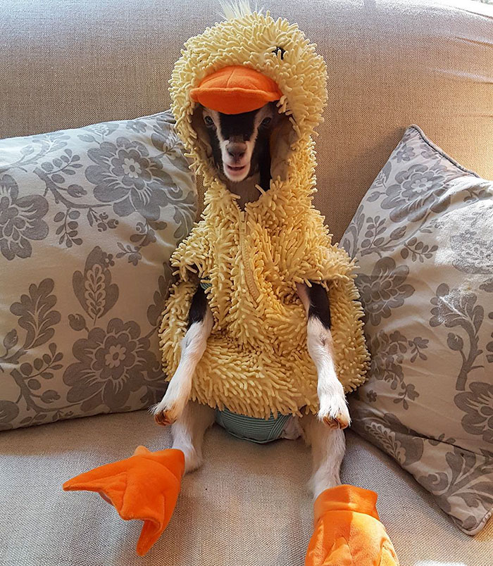 polly la cabra que se viste de pato para combatir la ansiedad 1