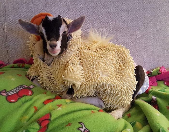 polly la cabra que se viste de pato para combatir la ansiedad 2