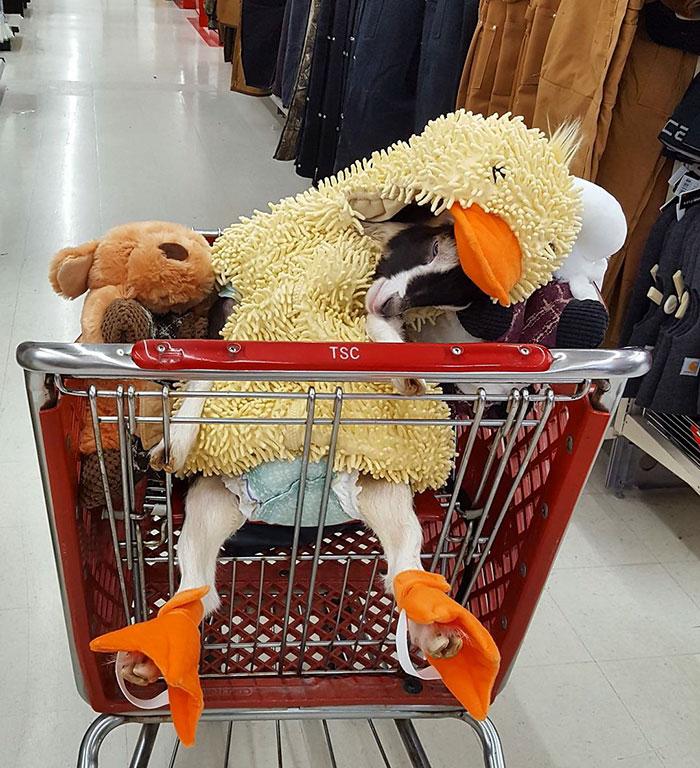 polly la cabra que se viste de pato para combatir la ansiedad 3